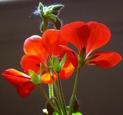 Geranium Flowers (KoolPix) Tags: flowers red plant nature colors closeup blossoms blooms geraniums mothernature jayd naturephotographer koolpix photocontesttnc09 dailynaturetnc09 dailynaturetnc13 wcswebsite photocontesttnc14 dailynaturetnc14
