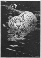 'Cool Waters' - White Tiger - Fine Art Pencil Drawings www.drawntonature.co.uk (kjhayler) Tags: pictures white pencil cat print zoo big artwork artist image pics wildlife tiger picture illustrations drawings images naturalhistory bigcat tigers prints tigger sketches siberiantiger graphite tigress whitetiger animalart whitetigers wildanimals singaporezoo animalprints bengaltiger pencilwork wildlifeimages tigerskin drawingpictures animalpictures wildlifeart animalscats siberiantigers wildlifephotography wildlifephotos bengaltigers animalphotos animaldrawings wildlifeartists indiantiger naturepictures tigerprints wildtigers royalbengaltiger wildlifeportraits wildpictures phototiger animalspictures openedition tigerpicture tigerphotos wildlifeartist wildlifedrawings drawingphotographs kevinhayler animalstigers wildlifetigers imagestigers indiantigers tigerpictures tigerspictures tigersphotos tigerswhite tigerprit tigerimage tigerimages photostigers