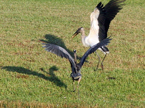 Great Blue vs Stork 20091119