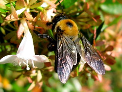 Bumbling Along (Puzzler4879) Tags: nature bees longisland bumblebees musictomyeyes bayardcuttingarboretum arboretums beautifulshot newyorkstateparks heartawards a580 flowerswithbees fbdg macrolife macrolovers canona580 screamofthephotographer canonpowershota580 powershota580 beautifulmonsters naturegreenstar flowersorinsectsmacro mostbeautifulpictures naturescarousel totaltalent moongoddessawards
