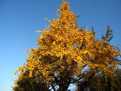 IMG_4545 (CLF) Tags: park autumn red fall leaves japan garden tokyo      arakawa       momoji