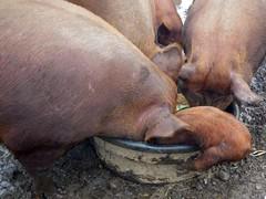 Breakfast time (LisaNH) Tags: heritage pig outdoor farm nh slowfood hog humane tamworth pastured grassfed albc mackhillfarm humanelyraised growfood arkoftaste