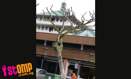 These 'botak' trees could fall and injure passers-by