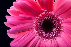 (055/365) Gerber Daisy Macro [Explored]