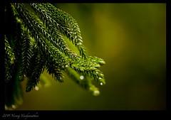 (Jnarin) Tags: leaves macros nilgiri ferntree masinagudi mudumalainationalpark canoneos1dmarkiii nilgirihills aroundbangalore bokkapuram niranjvaidyanathan canonef100400f4556usmlis