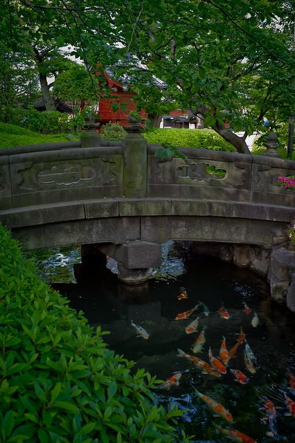 koi in a temple garden