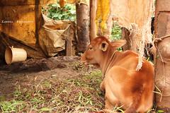 click from a village .. INDIA (Kanishka****) Tags: trip india grass canon fun cow village cattle bangalore calf samrat kanishka 550d 18135mm chikmagulur kanishkasamrat rebelt2i