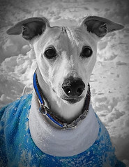 Spanky in Blue (DiamondBonz) Tags: dog hound spanky pet sweater snow handsome blue whippet