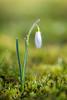 Spring! (derliebewolf) Tags: blumen natur macro schneeglöckchen flower nature green dof bokeh micro sun light flickrfriday earlyspringsigns meadow gras nikon d600 water droplet galanthus