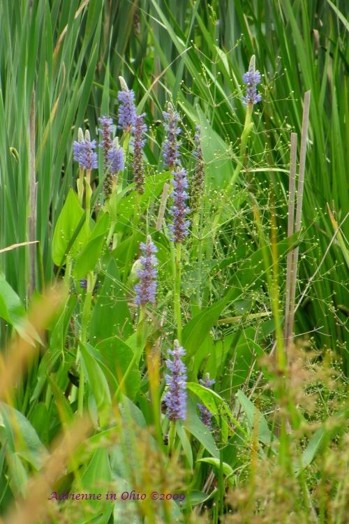 purple spiked wetland wildflower photo by Adrienne Zwart