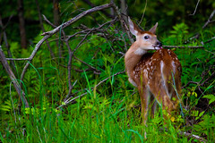 Fawn in the wild (pa_cosgrove) Tags: nature field grass photo amazing group deer fawns whitetail whitetaileddeer the mendonpondspark canonef100400mmf4556lisusm canoneos5dmarkii
