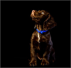 Sit Boy! (andrewwdavies) Tags: camera shadow orange dog pet brown colour cute green woof beautiful face up canon puppy is big eyes warm sad wizard 10 chocolate flash 14 hound ears canine william andrew off explore sleepy age tired beast spaniel usm temperature cocker pup pocket weeks onsale liver frontpage softbox ef davies fill gundog cto onblack the hotshoe speedlite f4l 430ex 24105mm explored strobist 40d plusii 580exii canoneos40d andrewwilliamdavies canonef24105mmf24lisusm ezfold 43westcottdoublefoldumbrellaconvertiblesatinbouncereflective24