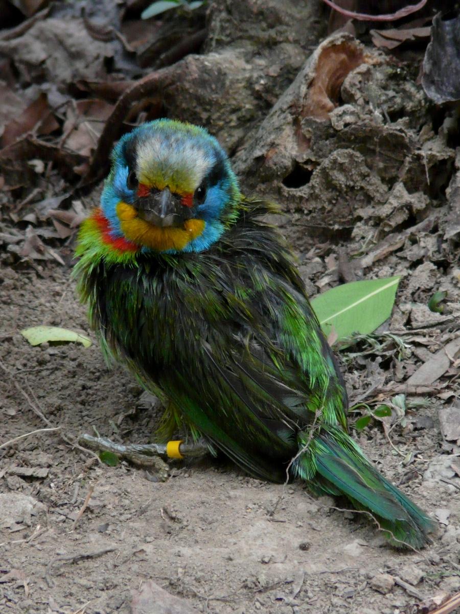 Wet Muller's Barbet (Megalaima nuchalis) - 五色鳥