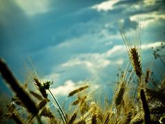 Gru (Dani Croitor) Tags: field wheat spice grau romania gradina narcisa falticeni suceava peisaje forasti forti