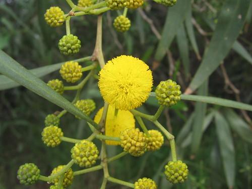 Yellow puff.