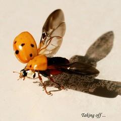 Joaninha decolando !!! (tinica50) Tags: macro meg ladybug joaninha potofgold macrolicious mywinners abigfave anawesomeshot citrit naturewatcher buzznbugz macromarvels beautifulmonsters