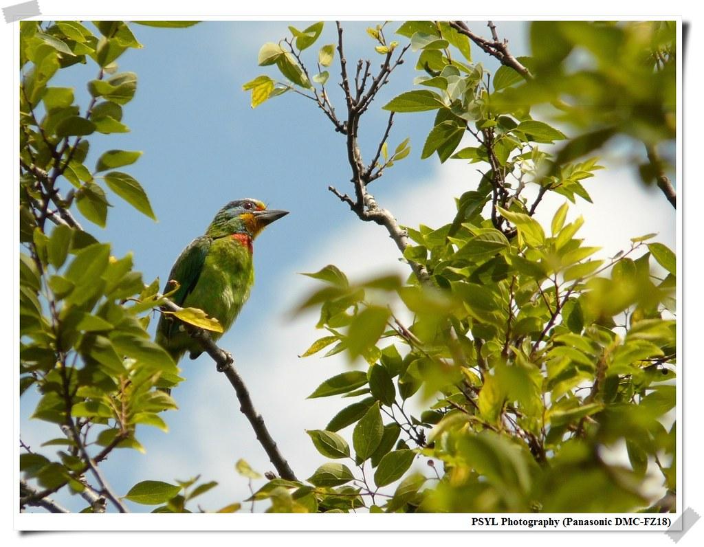 Muller's Barbet (Megalaima nuchalis) - 五色鳥