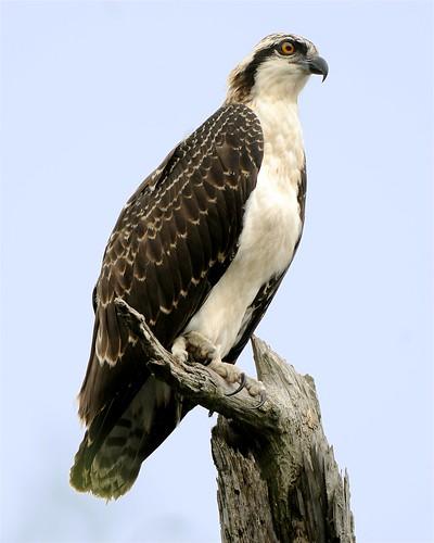 フリー画像| 動物写真| 鳥類| ミサゴ|        フリー素材|