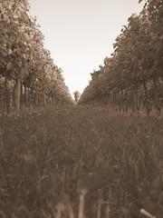 vitis (tenerucci) Tags: field sepia lumix perspective prato prospettiva viti vigna