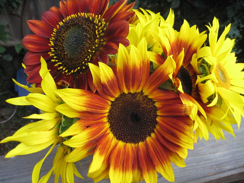 sunflowers from the garden