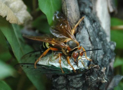 Spechius speciosus, Eastern Cicada Killer