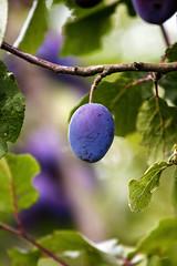 fruits (bold.) Tags: blue summer food green weather fruit geotagged deutschland essen plum august grün blau frucht deu wetter violett prune badenwürttemberg zwetschge damson pflaume canonef70200mmf4lusm badenwrttemberg badenw eberdingen geo:lat=4888336280 geo:lon=897228640