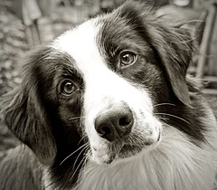 My Second Hand Dog (meg price) Tags: dog pet collie sheepdog border bordercollie barney rescuedog abigfave thelittledoglaughed actuallyhes3rdhandnot2ndhand wewerehisthirdhomeinlessthan18months mypointandshootstilloutofaction thiswastakenwithmystepmumsdslr whichidontknowhowtouse likedthisshotthough
