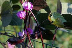 hyacinth bean vine 1