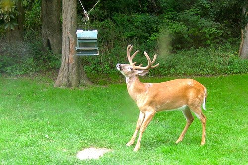 Deer in Mom's Backyard (August 2009)