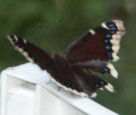 Butterfly03