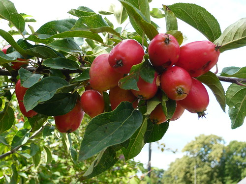Uses for crab apples