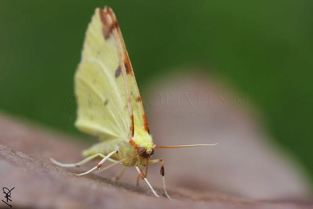 citronnelle rouillée (Phalène de l'alisier - Opisthograptis luteolata)