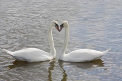 True Love (DianneB 2007.) Tags: marina boats cheshire swans widnes spikeisland dib gadgetgirl fiddlersferrypowerstation nwtnature