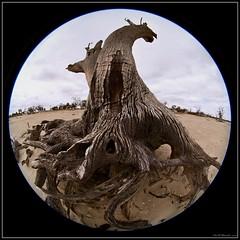 CapOne IMG_2558 (Un-Alien-able) Tags: trees death australia drought riverland barmera salinity lakebonney sigma45mmf28exdccircularfisheye ansellwannabe