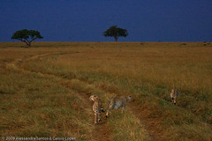 Honey Boys moving in their territory at Maasai Mara before sunset - DAY01 _MG_5397 (Cassio Lopes & Alessandra Santos) Tags: africa nature animal mammal kenya wildlife safari bigcat cheetah savannah predator carnivore masaimara gamedrive maasaimara threebrothers bigcatdiary honeyboys