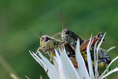 Podisma pedestris (luporosso) Tags: macro nature closeup bug insect nikon natura bugs grillo d60 buz naturalmente naturesfinest specinsect buzznbugz luporosso theauthorsplaza