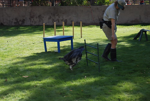 King vulture doing obstacle course
