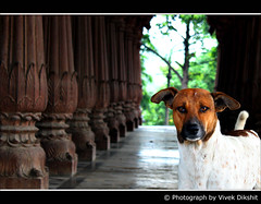 Royal Looks... (Vivek Dikshit) Tags: dog animal royal indore pillars canon1000d vivekdikshit chatari krishanpura