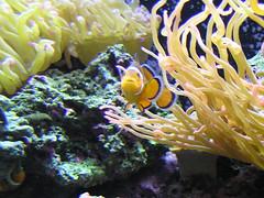 Who you calling a clown? (suevitabella) Tags: fish water coral aquarium underwater nemo connecticut ct sealife olympus clownfish anemone mystic aquaticlife c770 mysticaquarium olympusc770