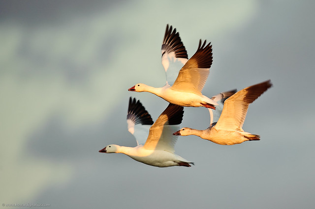 Snow Geese at Bosque del Apache