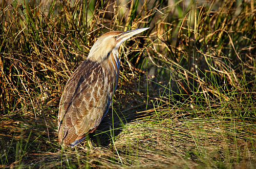 Female Green Heron