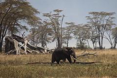 elephant (raasta) Tags: africa elephant canon tanzania wildlife ngorongorocrater elefante áfrica tanzanya canonef100400mmf4556lisusm vidasalvaje canoneos5dmarkii craterngorongoro ef100400mmf4556 cincograndes 5dmark2 safari2009 bigfive´s
