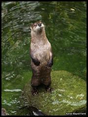 Lldria (Lontra canadensis) (Xavier Bayod Farr) Tags: animal animals fauna river zoo switzerland tiere suiza olympus basel american otter xavier lontra animalia nutria tier sussa canadensis e500 basilea bayod lutra farr lludriga lludria xavierbayod xavierbayodfarr