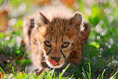 «Don't steal my meal, stranger!» (Tambako the Jaguar) Tags: wild baby cute grass tongue cat zoo cub switzerland big nikon feline small kitty fast basel spotty cheetah staring zolli gepard d300 acinonyxjubatus guépard vosplusbellesphotos