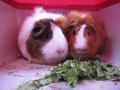 guinea pigs (M.B.I) Tags: oslo norway guinea pigs ixus70