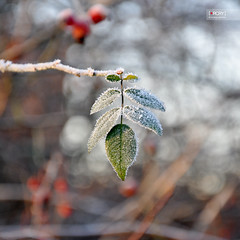 (osteras) Tags: winter red cold green leaves leaf frost berries bokeh week49 nikond90 estremit 336365 project3661 52of2009 5212of2009