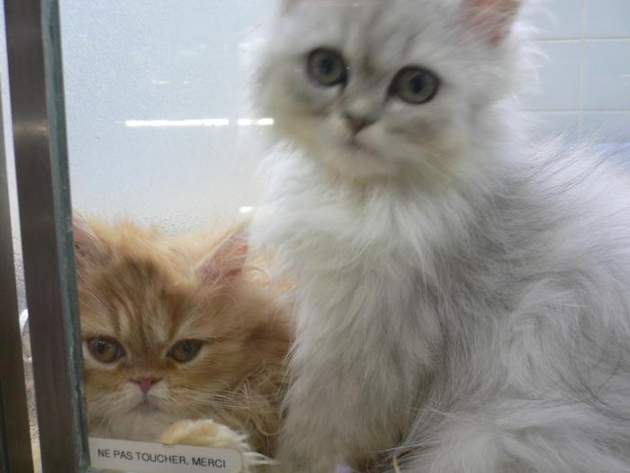 kittens vilmorin