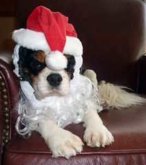 Tis the Season to be Jolly (Team Hymas) Tags: santa dog hat tanner shirleen gettyholidays2010