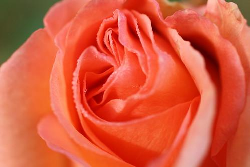Rosa mýstica
