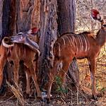 Ungulates - Kudu maybe?!